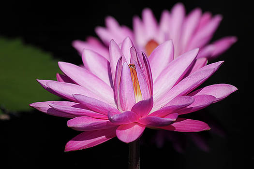 Pink Day Flowering Water Lily by Mark Michel