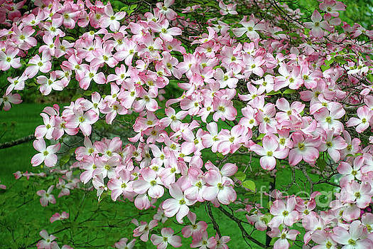 Pink Dogwood Flowers by Edward Fielding