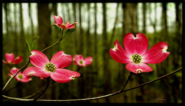 Pink Dogwood Flowers by James C Thomas