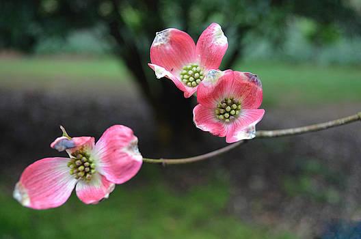 Pink Dogwood by Linda Geiger