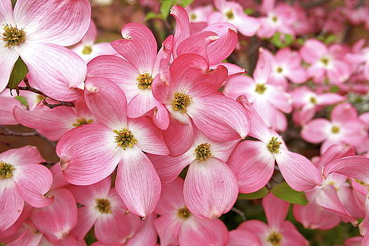 Pink Dogwood Riot by Michele Myers