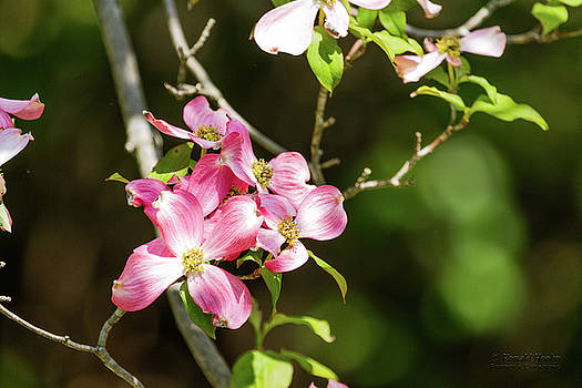 Pink Dogwood by Ronald Hoehn