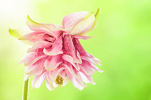 Pink double columbine by Oscar Gutierrez