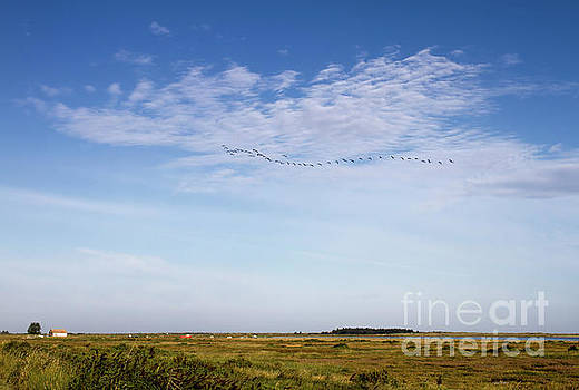 Pink Feet over Thornham Marsh Norfolk UK by John Edwards