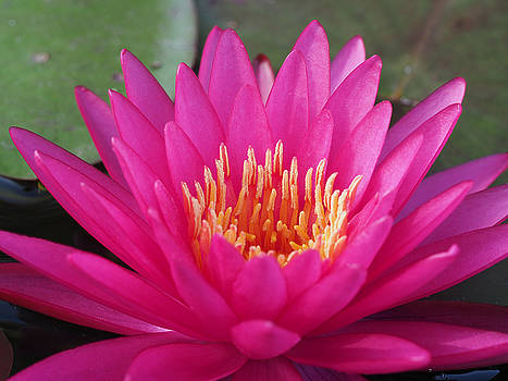 Pink Flame Waterlily by Paula Ponath
