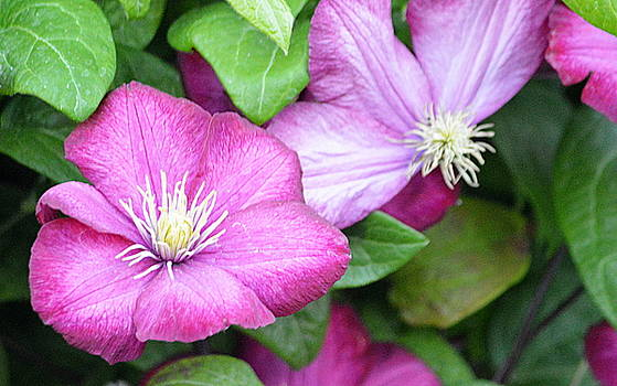 Pink Floral by AJ  Schibig
