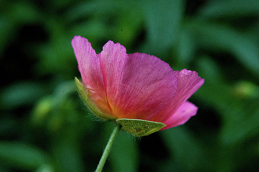 Pink flower and greenery by Emilia Brasier
