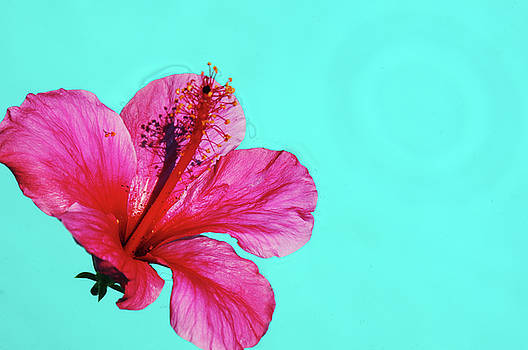 Pink Flower in Water by William Kimble