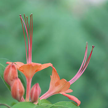 Pink Azalea Flower by Lisa Shea