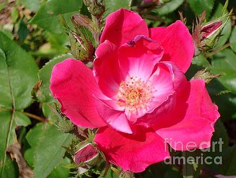 Pink Flower by Monica Whaley