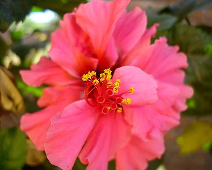 Roberto F - Pink Flower