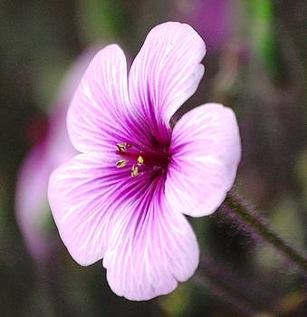 Sumoflam Photography - Pink Flower