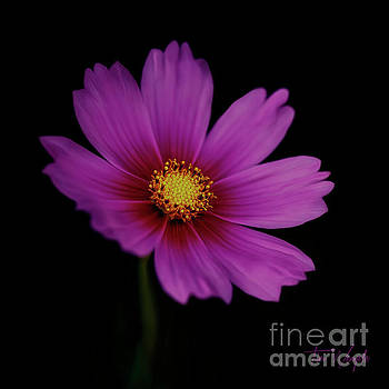 Pink Flower by Tim Wemple