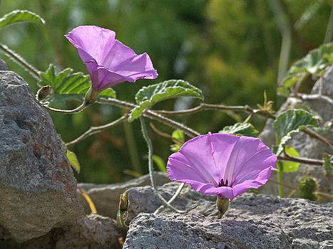 Pink flowered climber by Mary Attard