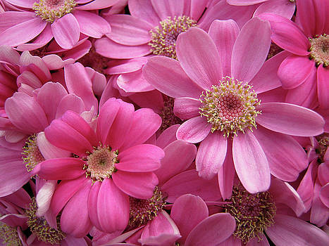 Pink Flowers by Kelly Lucero