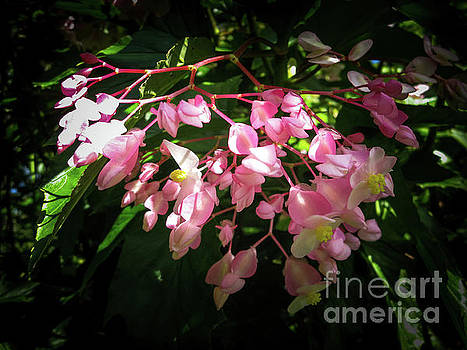 Pink Flowers of the Bush by Barbara Dudzinska