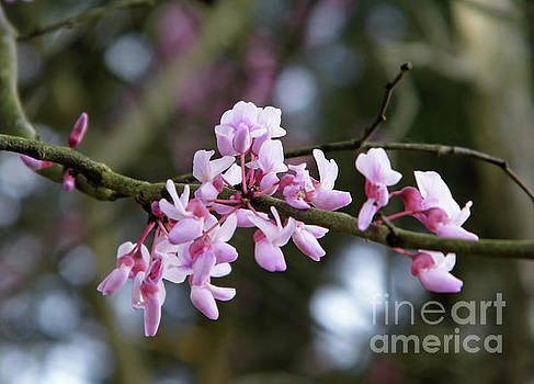 Pink Flowers On The Redbud Tree by D Hackett