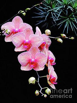 Pink Flowers Pink Vein Black Background by Ron Tackett