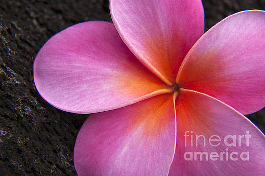 Pink Frangipani by Julia Hiebaum