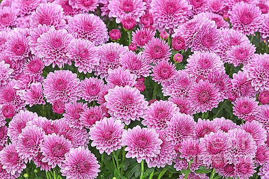 Regina Geoghan - Pink Garden Chrysanthemums