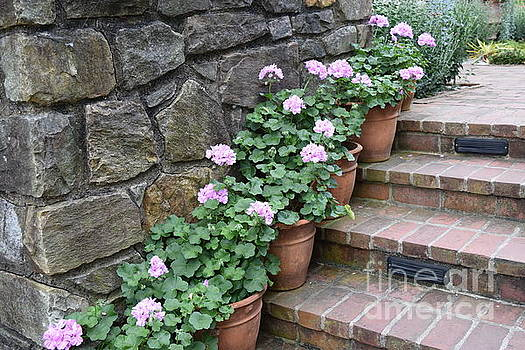 Pink Geraniums  by Jeannie Rhode
