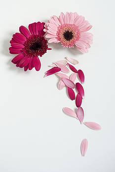 Pink Gerbera Daisies by Di Kerpan