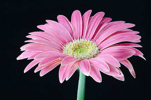 Pink Gerbera Daisy by Georgette Grossman