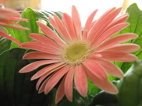 Lea Novak - Pink Gerbera Daisy