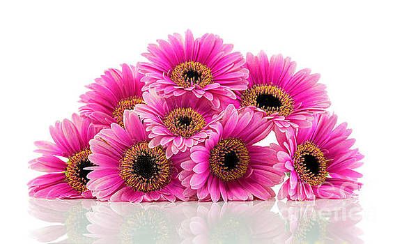 Compuinfoto - pink gerbera isolated on white