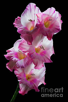 Pink Gladiolas on Black  #0146 by David Perry Lawrence