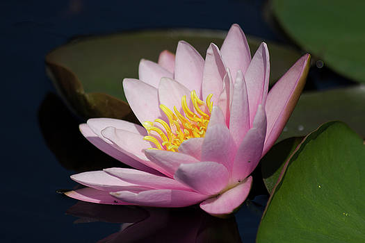 Pink Hardy Water Lily by Mark Michel