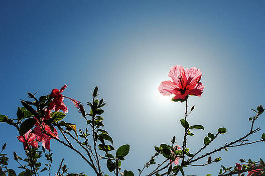 Pink Hibiscus Flowers by Tetyana Kokhanets