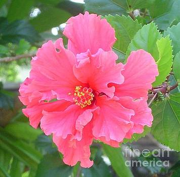 Pink Hibiscus by Mary Erbert