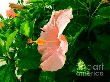 Pink Hibiscus by Zsuzsa Lado