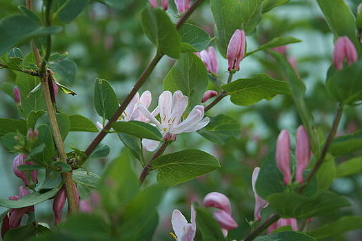 Pink Honeysuckle by Susan Pedrini
