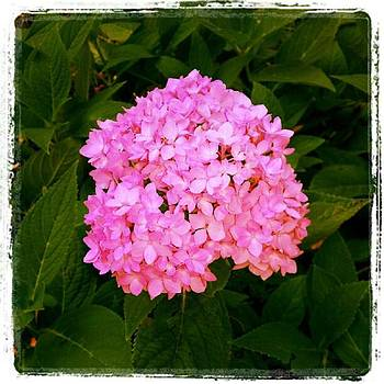 Pink Hydrangea Portrait by Tammy Winand