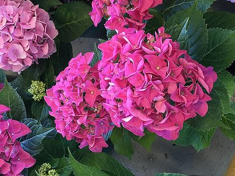 Pink Hydrangeas by Kay Gilley
