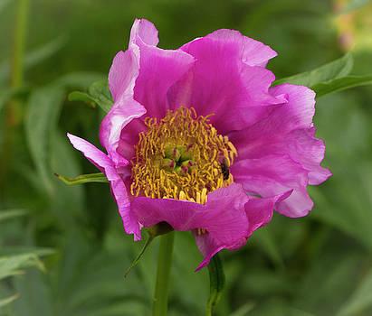 Venetia Featherstone-Witty - Pink Iceland Poppy