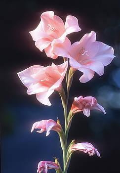 Pink Iris by John Brink