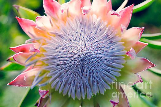 Pink King Protea by Sharon Mau