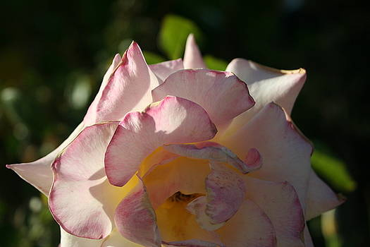 Pink Laced Rose by Susan Pedrini