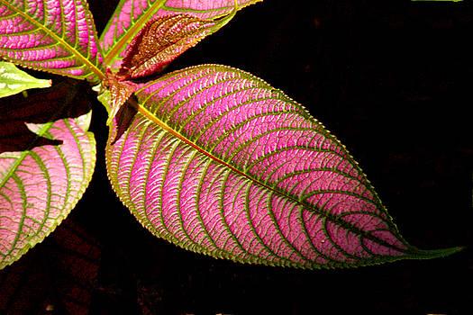 Robert Anschutz - Pink Leaf