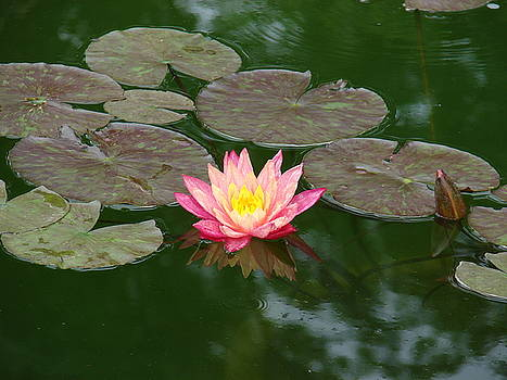 Pink Lilly and lilly pad by Renee Cain-Rojo