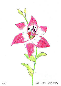 Pink Lily by Amanda Currier