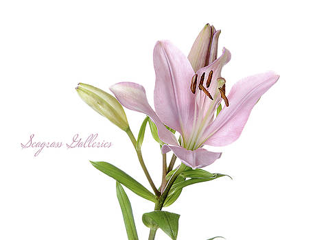 Pink Lily by Nena Pratt