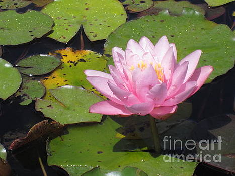 Pink Lotus by Brandy Woods
