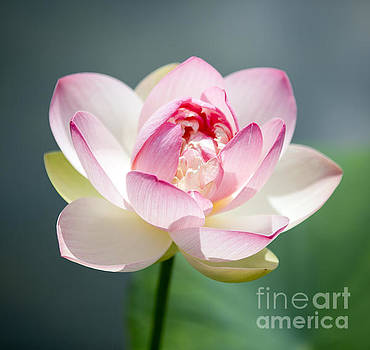 Pink Lotus #1 by Denise Woldring