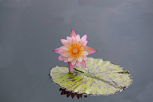 Pink Lotus by Sharon Batdorf