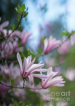 Mike Reid - Pink Magnolia Blooms Peaceful