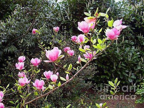 Pink magnolia by Elena Ivanova